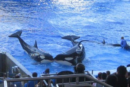 SeaWorld killer whales kissing at Shamu Stadium show