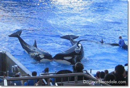 SeaWorld killer whales kissing at Shamu Stadium show