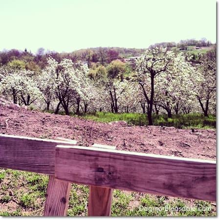 hayride through apple blossoms