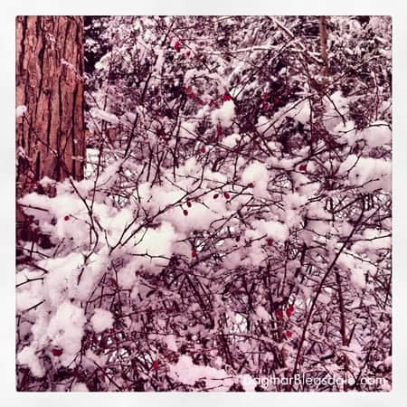 red berries n bush in the snow
