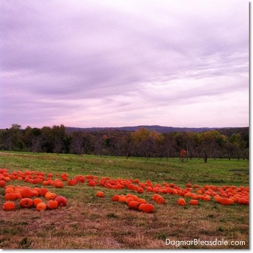 pumpkin patch, pumpkins in patch