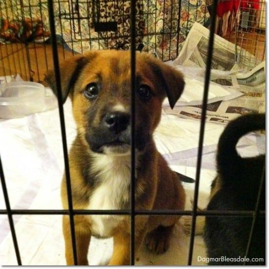 adopt Denali from Recycled Paws, Mohegan Lake, NY