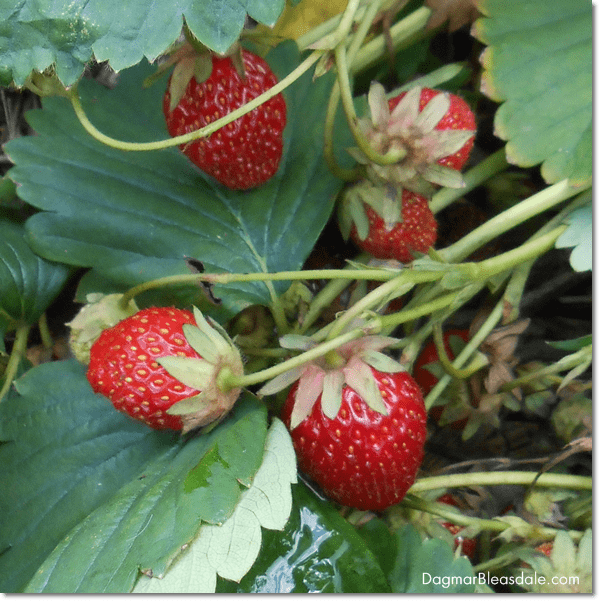 strawberry fields in Germany, DagmarBleasdale.com