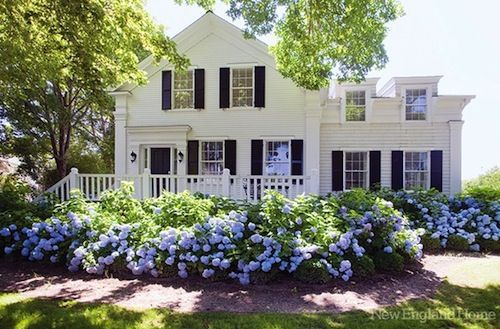 hydrangeas iin front of cottage